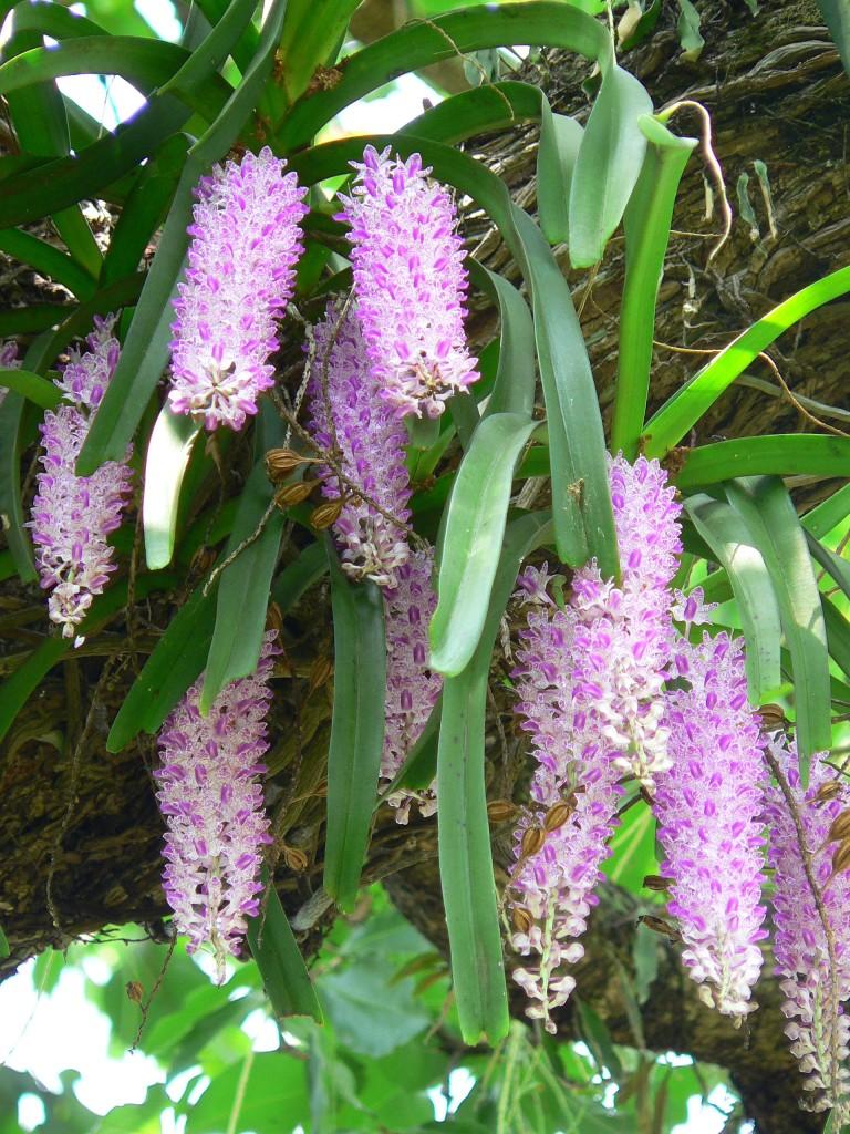 Rhynchostylis Retusa Flower
