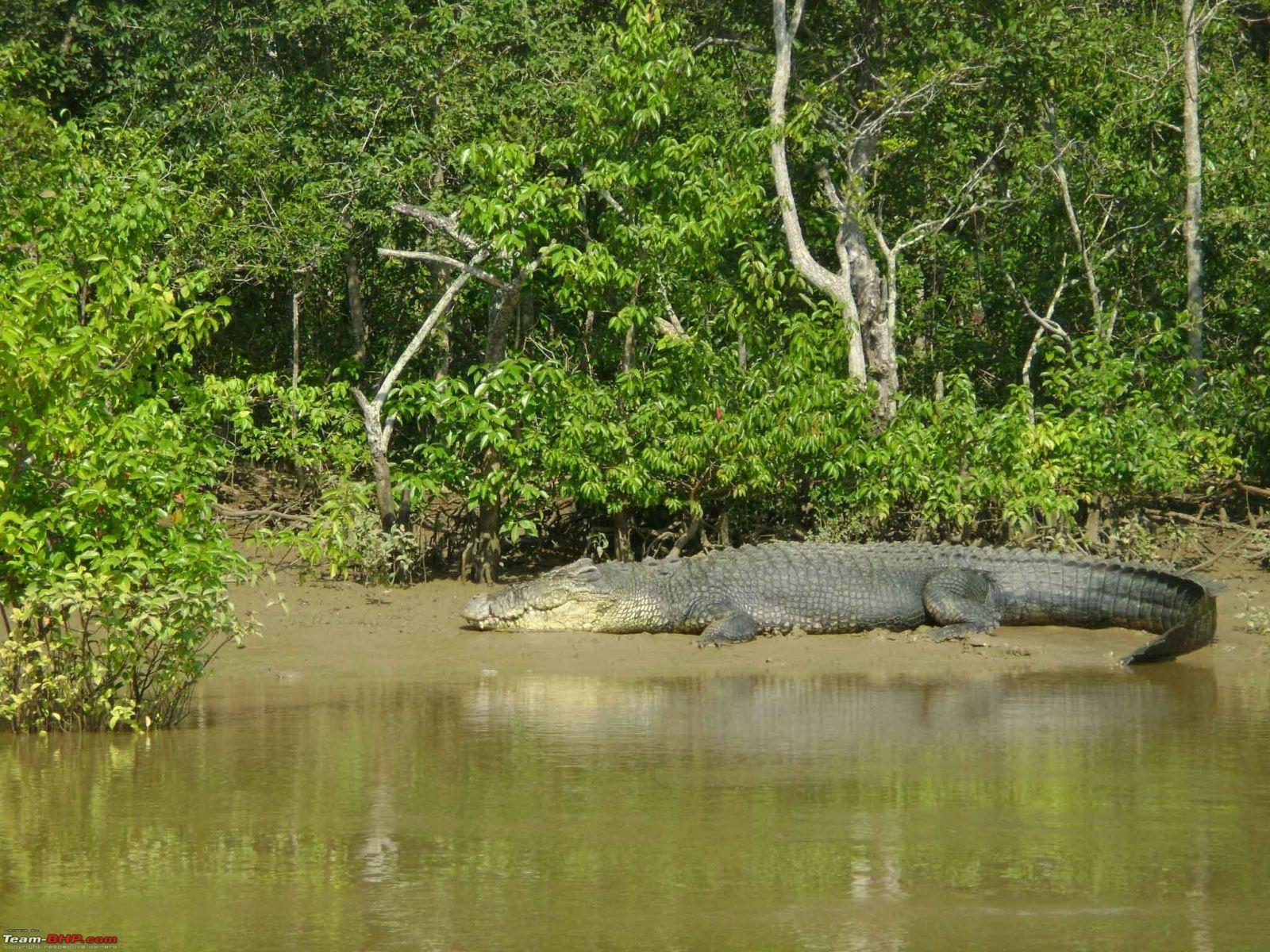 Crocodile at Bhitarkanika National Park
