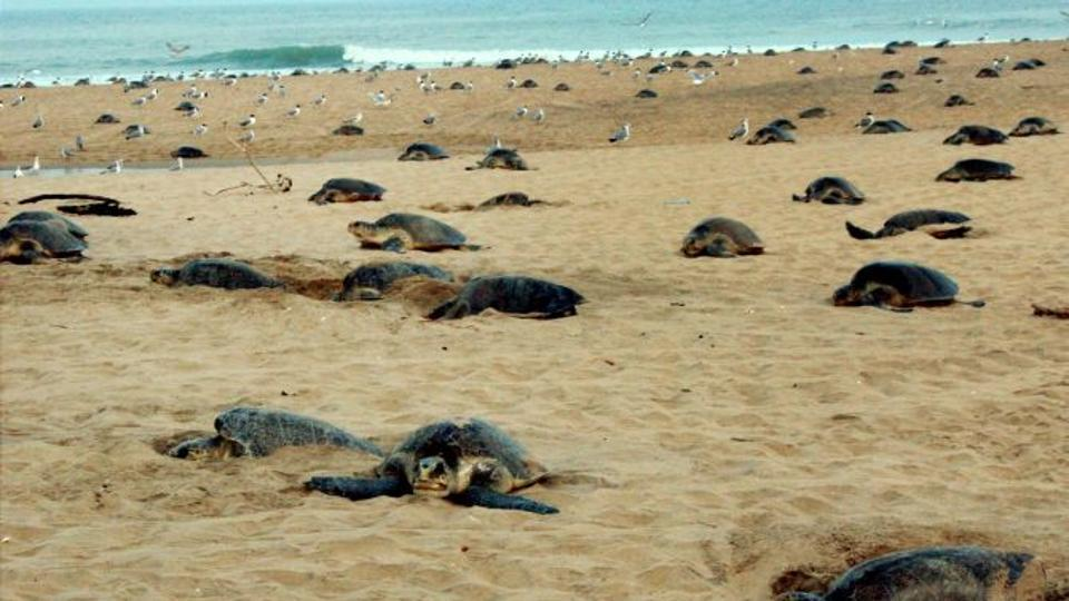 olive-ridley-turtles